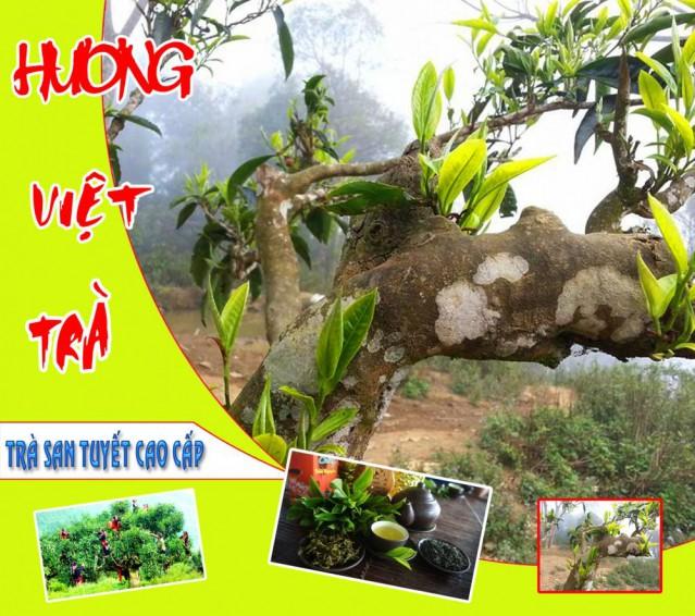 Hương Việt Trà Shan Tuyết Thượng Hạng
